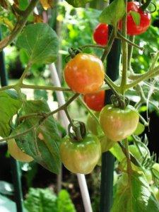 Tomatoberries