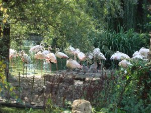 A Flock of Flamingoes