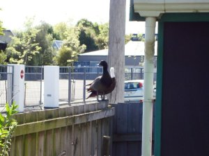 Visiting paradise ducks