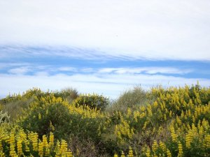 Clouds above the lupins