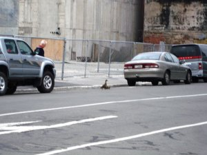 Ducks between parked cars