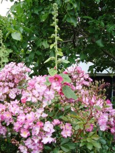The first hollyhock
