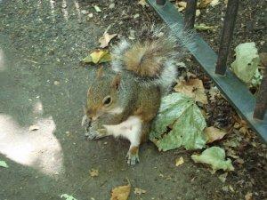 Squirrel in St James' Park