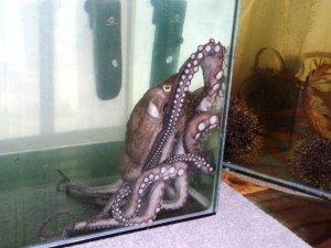 Octopus at the Marine Aquarium