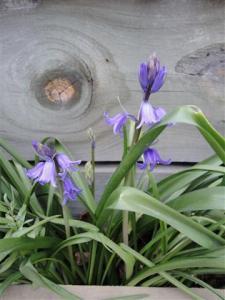 First bluebells