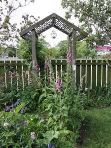 Foxgloves in the Cottage garden