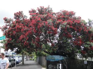 In full flower in Ponsonby