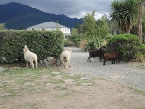 Renegade sheep