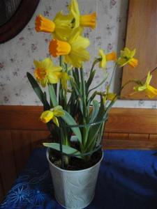 'Easter' daffodils