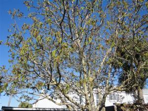 Flowering walnut tree