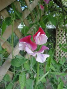 Sweet Peas (Small)