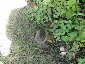 Hedgehog #1 (Small)