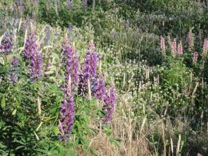 Lupins (Small)