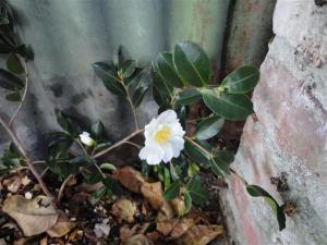 Camellia flower (Small)