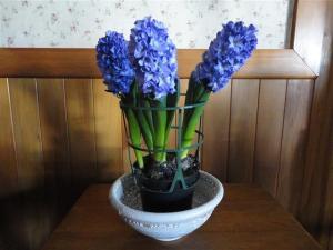 Hyacinths (Small)