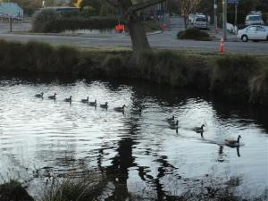 Canada geese swam by quite unconcerned