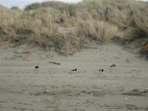Oyster catchers (Small)