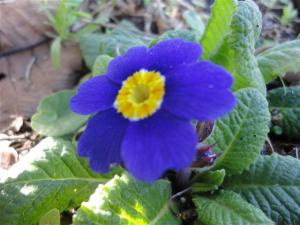 Polyanthus blue (Small)