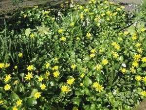 Ranunculus (Small)