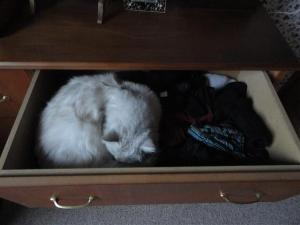 Top drawer cat (Small)
