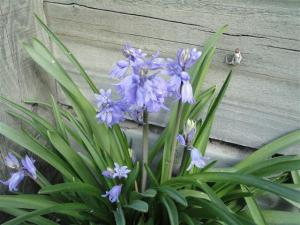 bluebells-small