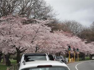 cherry-blossom-small