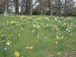 daffodils-small