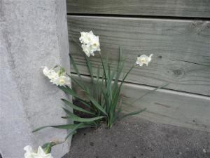 narcissi-on-path-small