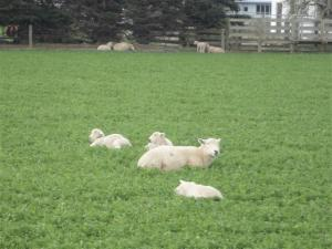 sheep-and-lambs-small