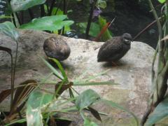 Quail in Tropical Rainforest