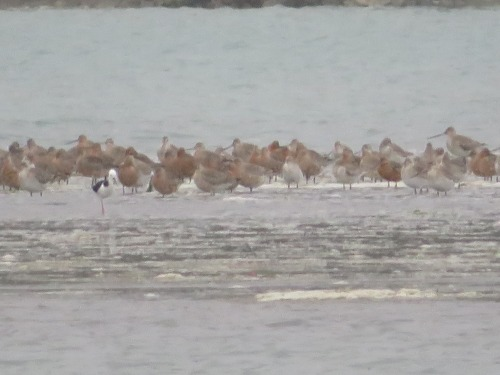 Cathryn's godwits